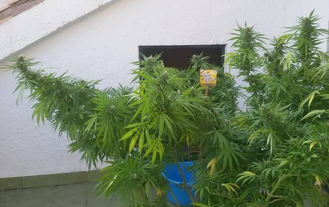 En un allanamiento secuestraron una planta de marihuana 2,60 metros de altura
